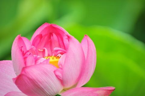 雨上がりの土の匂いと蓮の花