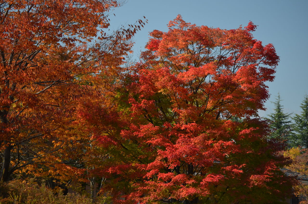 大町市やしろ公園のカエデ紅葉、鎌池紅葉。 : 長野県安曇野市 ...