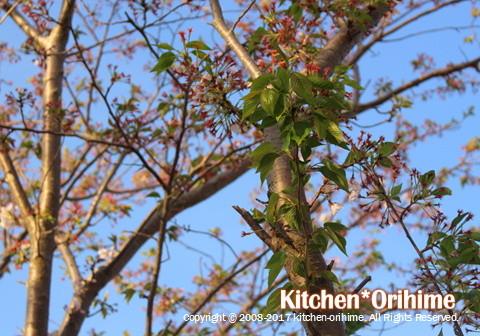 葉桜の様子-アップ