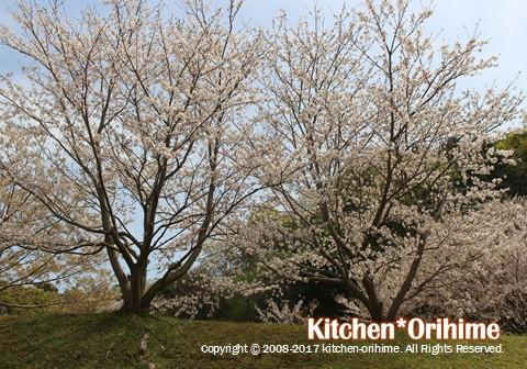 中央病院の上の桜②