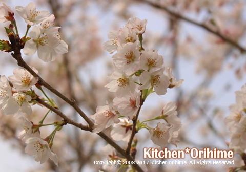 桜-アップ