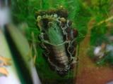 トビゲラの巣6