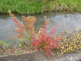 寝屋川公園 紅葉