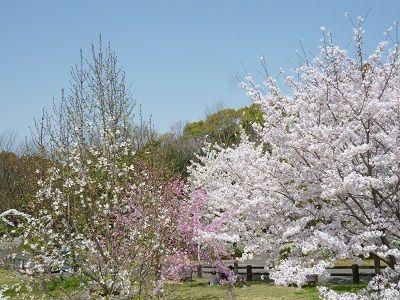 桜2 白とピンク