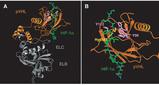 ヒッペルリンドー抑制蛋白