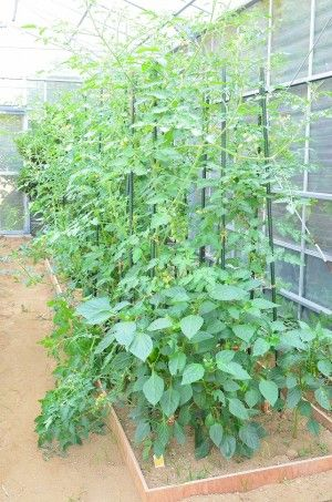家庭菜園ははじめてなので、 手間のかからないミニトマト、綺麗な色や形の葉を 育てることにしました。
