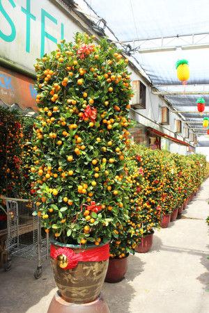 背丈以上の高さの金柑の木もよく見かけますが、 赤いリボンで飾りつけがされているところが やはり中華系らしいです。