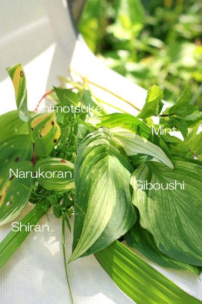 集めたのはこんな葉です。 ぎぼうし、ナルコラン、シラン、 スペアミント、シモツケ(つぼみ)