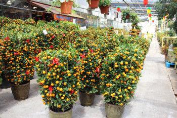 花市場に行くと つい先月までたくさんクリスマスツリーが並んでいたところに、 たくさんの金柑の木が売り出されます。