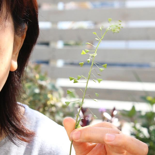 [雑草生活]ペンペングサの音色とは? 懐かしい草遊び