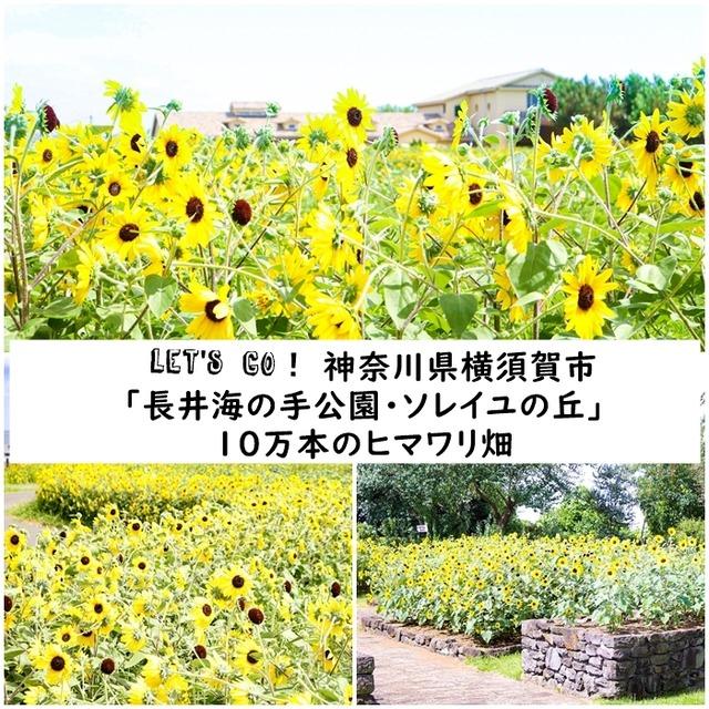 おさんぽカメラ♪ 神奈川県横須賀市「長井海の手公園・ソレイユの丘」10万本のヒマワリ畑