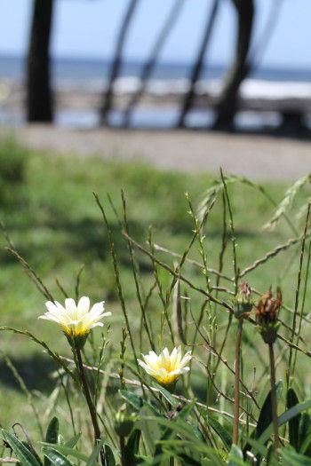 海沿いに、雑草に混じって 「ガザニア」という花が咲いていました。 ふだんは花壇などで咲く花ですが、 どこからか種が飛んで来たのか、 数輪寄り添うように咲いていました。