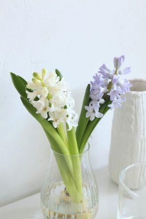 早春の花ヒヤシンスは、春の光と空気感とともに