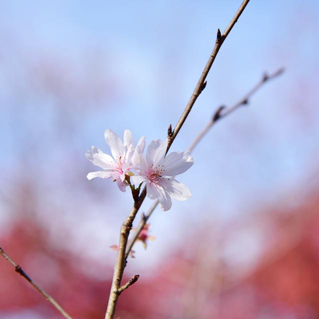 【関東ぶらり花の旅】紅葉とさくらの饗宴・桜山公園冬桜