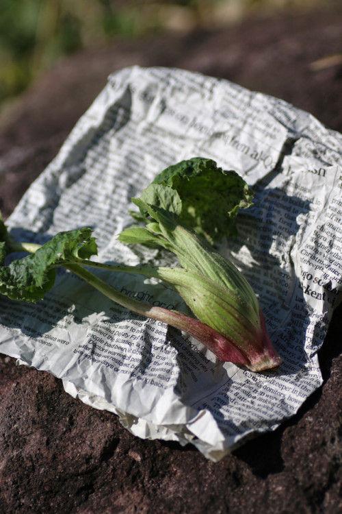 春を告げる野菜「ふきのとう」~今年も芽吹いてくれました