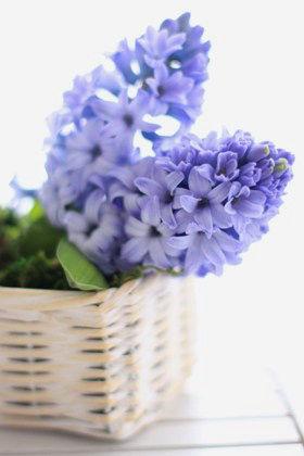 春の切り花を生ける~満開のヒアシンス~