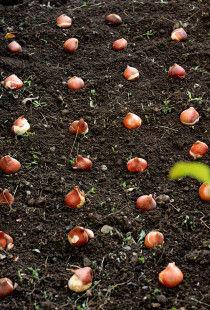 球根植えました! 来年の春が待ち遠しい!