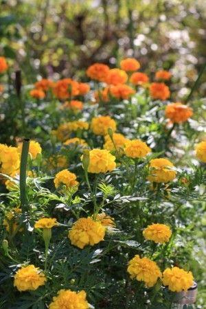 マリーゴールドで秋を感じるアレンジ