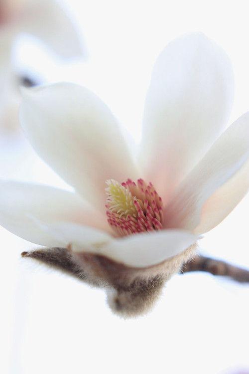 一足お先に春~ノーブルなマグノリア(辛夷)を飾る