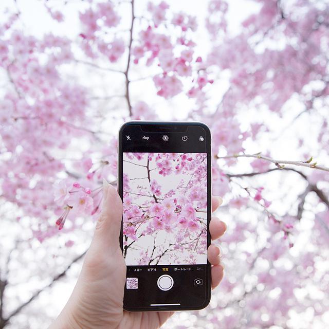 桜 さくら サクラ 写真 スマホ 撮り方