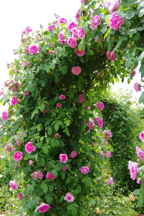 3,000本のバラが迎える デビッド・オースチン・イングリッシュローズガーデン