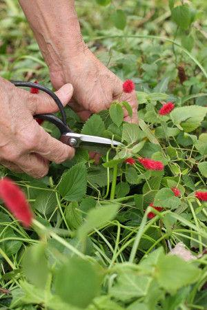 キャットテイルは、四季咲きですので、 一年を通して、ふさふさかわいい赤い花穂をつけます。