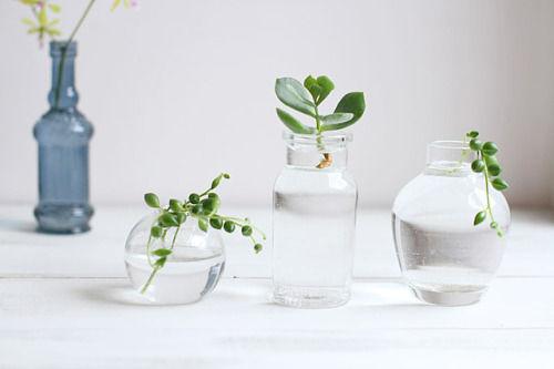 多肉植物の水栽培