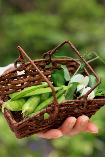 冬に植えた絹さや、収穫です!