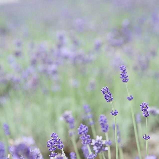 夏だけの花絶景*5万株のラベンダーで癒しの花旅 ~たんばらラベンダーパーク~