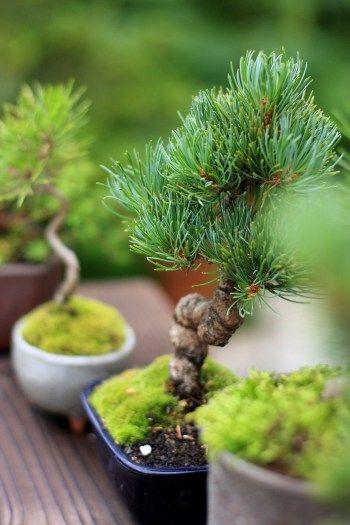 小さくてかわいい!ミニ盆栽