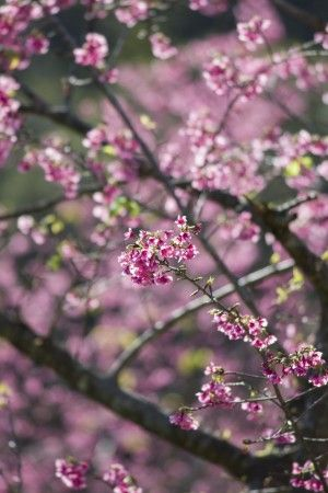 沖縄より春便り~日本一の早咲きカンヒザクラ