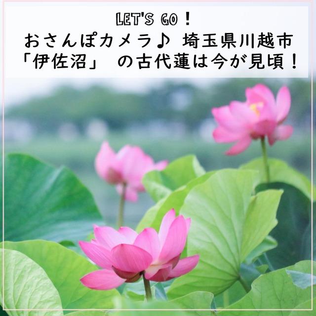 おさんぽカメラ♪ 埼玉県川越市「伊佐沼」 の古代蓮は今が見頃!
