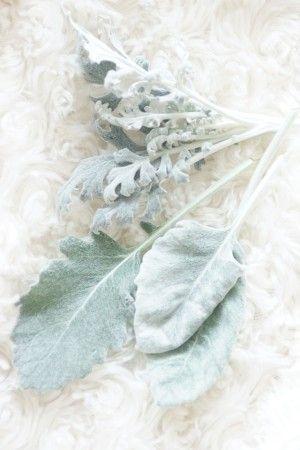 シルバーリーフは、銀白色の葉のことです。 今回使ったのは、ダスティーミラー。