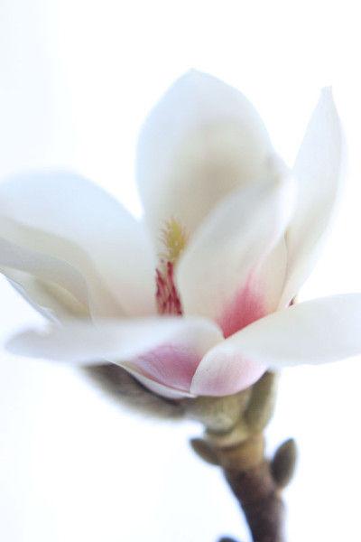 辛夷の花は六弁花。