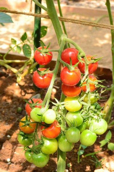 トマトには、紫外線から肌を守ってくれる「リコピン」が たくさん含まれているそうです。 あの真っ赤なトマトの色が「リコピン」なんですって! 今が旬の美味しいトマトを食べて、 この夏もキレイなお肌で過ごしましょう♪