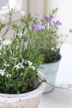 夏の鉢花は伸びた茎を切ってあげたほうが、 生育が活発に、花つきもよくなります。 花のお手入れのついでに、 切った花を押し花にしてみましょう。