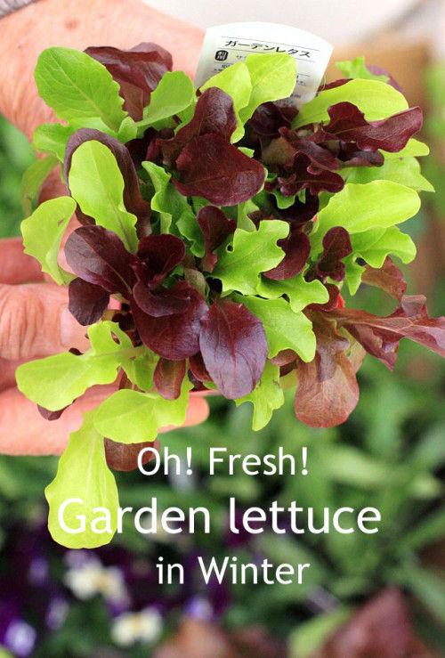 冬の家庭菜園~見た目もきれいなガーデンレタスを植えよう!