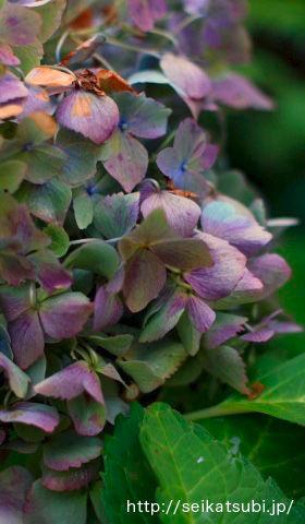 秋色紫陽花を楽しむ