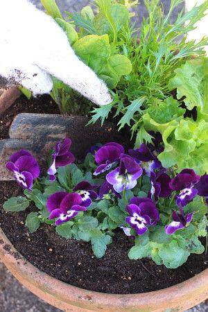 野菜だけでなく、ビオラも一緒に植えました。 彩りがきれいになります。