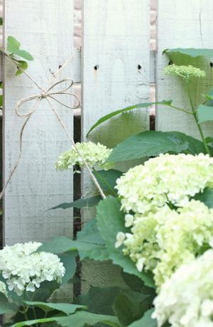 紫陽花アナベルの育て方とドライの仕方