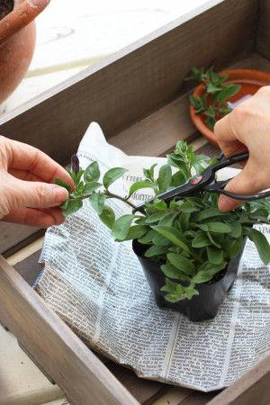 茎は少し伸びたところでカットします。  乾燥しないように、  カットしたものは水につけておきます。