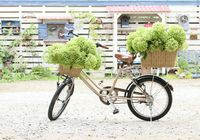 紫陽花アナベルをお庭で育てて、ドライをいっぱい作ってみませんか? 後編