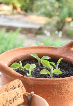 土に挿します。 土は園芸用の培養土を使っています。 挿し芽用の土もありますが、 サフィニアは強く、 培養土でも成功する確率は高いです。