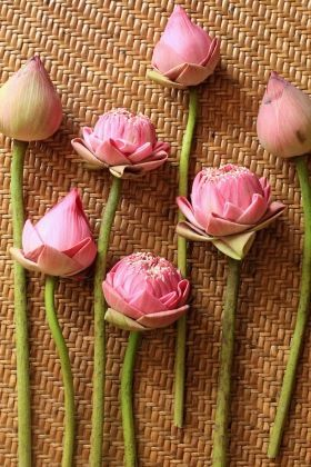 夏を彩る蓮の鉢植え