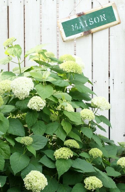 紫陽花アナベルをお庭で育てて、ドライをいっぱい作ってみませんか? 前編