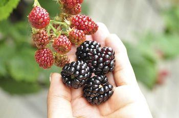 ベランダでも収穫できる!丈夫で育てやすいブラックベリー