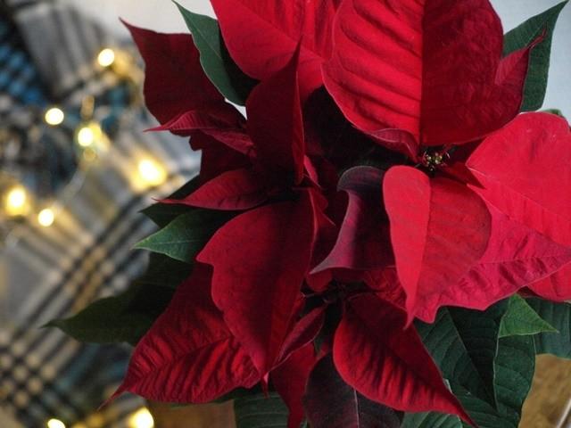 クリスマス ポインセチア 手入れ 育て方 ガーデニング 園芸