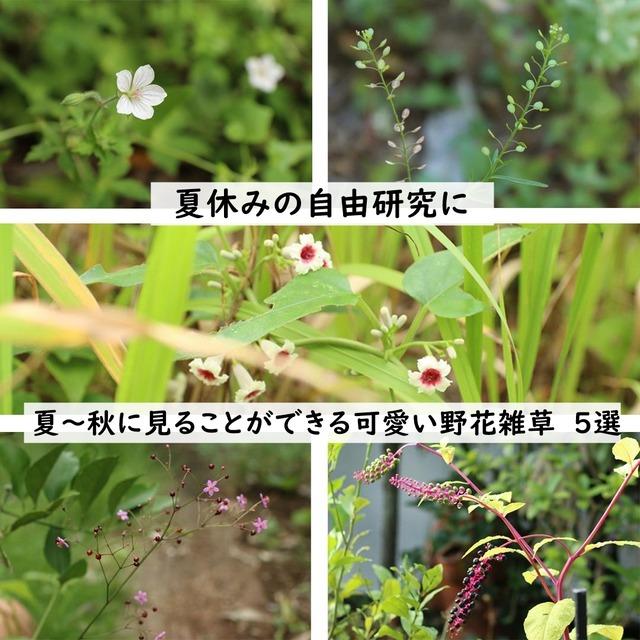 【夏休みの自由研究に】夏~秋に見ることができる可愛い野花雑草 5選