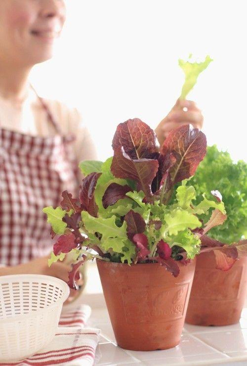 アリス・ウォータースさんに憧れて~1月に植えたガーデンレタス、楽しんでいます!