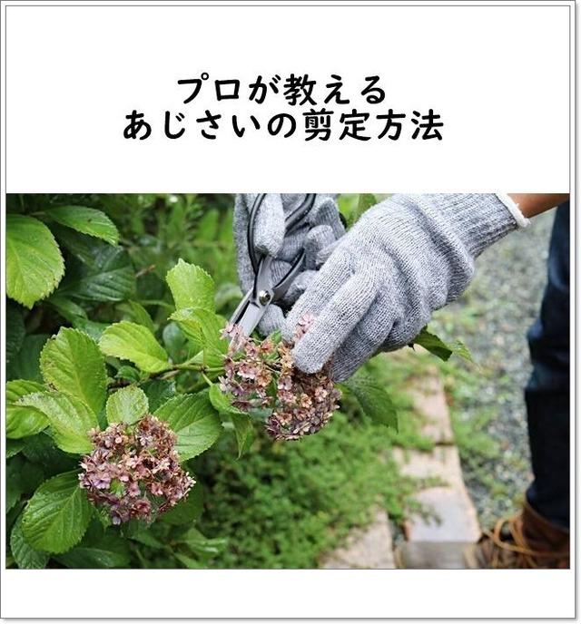 プロが教える! 来年もたくさん花を咲かせるアジサイの剪定方法
